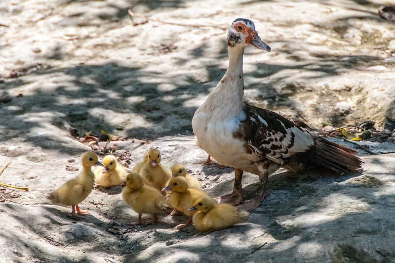 Duck with chicks in Mayan Riviera, Mexico