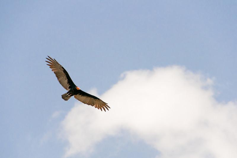 Bird on flight at Mayan Riviera, Mexico