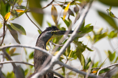 Bare Throated Tiger Heron in Riviera Maya, Mexico