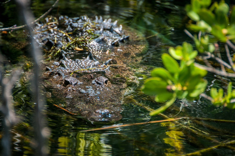 Alligator in the crystal clear water in Mayan Riviera, Mexico