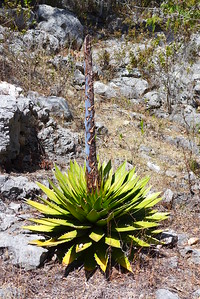 Sierra Mixteca: Allerhand Sorten von Agaven