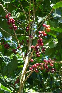Finca Peru Paris: Kaffeebaum