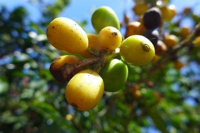 Finca Peru Paris: gelbe Kaffeefrüchte