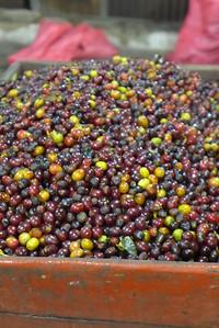 Finca Peru Paris: Kaffeefrüchte vor dem Waschen