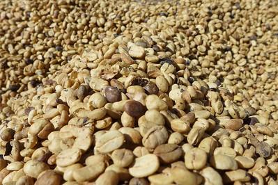 Finca Peru Paris: Zum Trocknen ausgelegte Kaffeebohnen