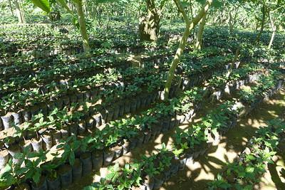 Finca Peru Paris: Baumschule mit Kaffeesetzlingen