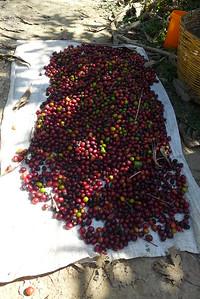 Finca Peru Paris: Frisch gepflückter Kafee