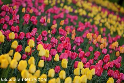 May 12 / Ottawa in tulips