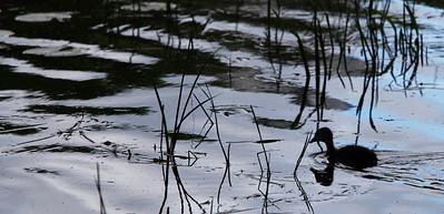 6-11 / Early duckiin