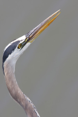 5-28 / Great Blue Heron