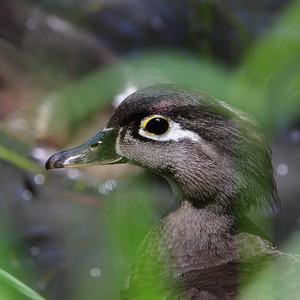 6-9 / Female wood duck
