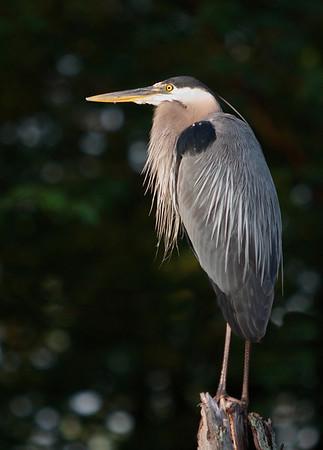 Blue Heron Ottawa River