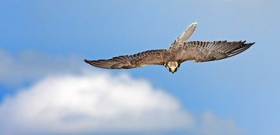 Diving bird of prey