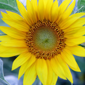 8-13 / Last of the sunflower power