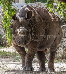 Greater One-horned Rhinoceros