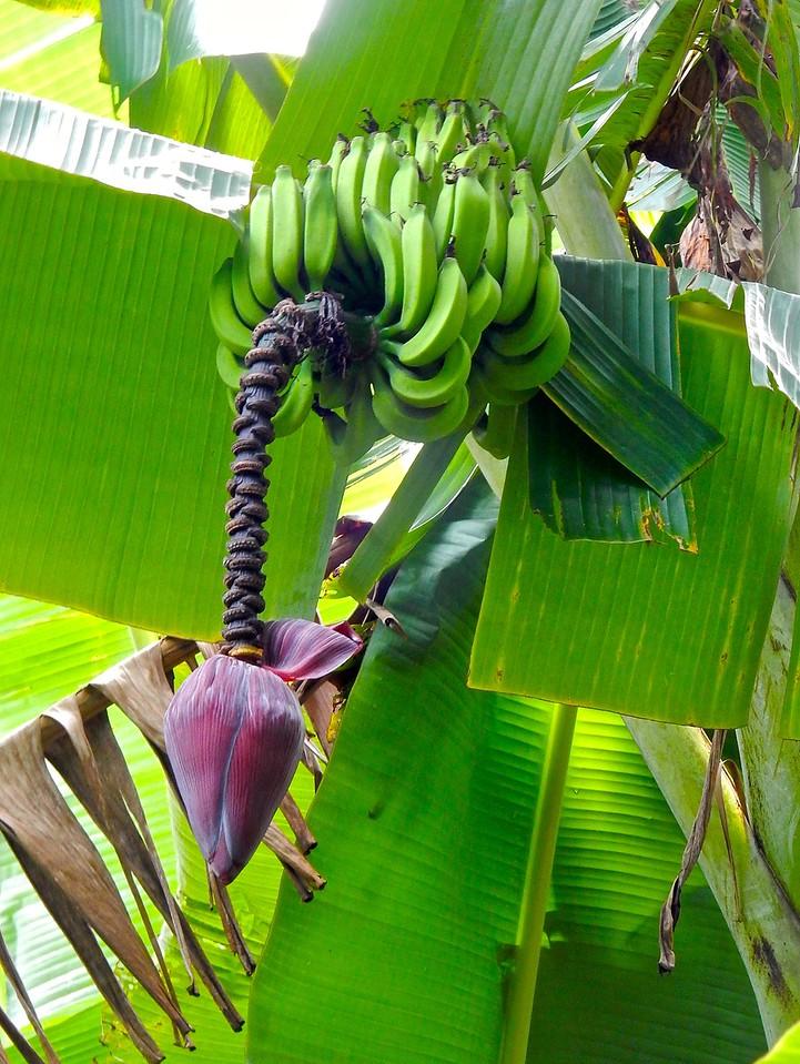 Bananas, Maui, Hawaii