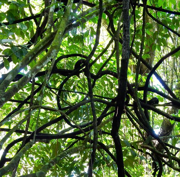 Rain Forest Vines, Costa Rica