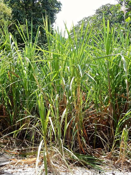 Sugar Cane, Flor de Cana Rum Factory, Nicaragua