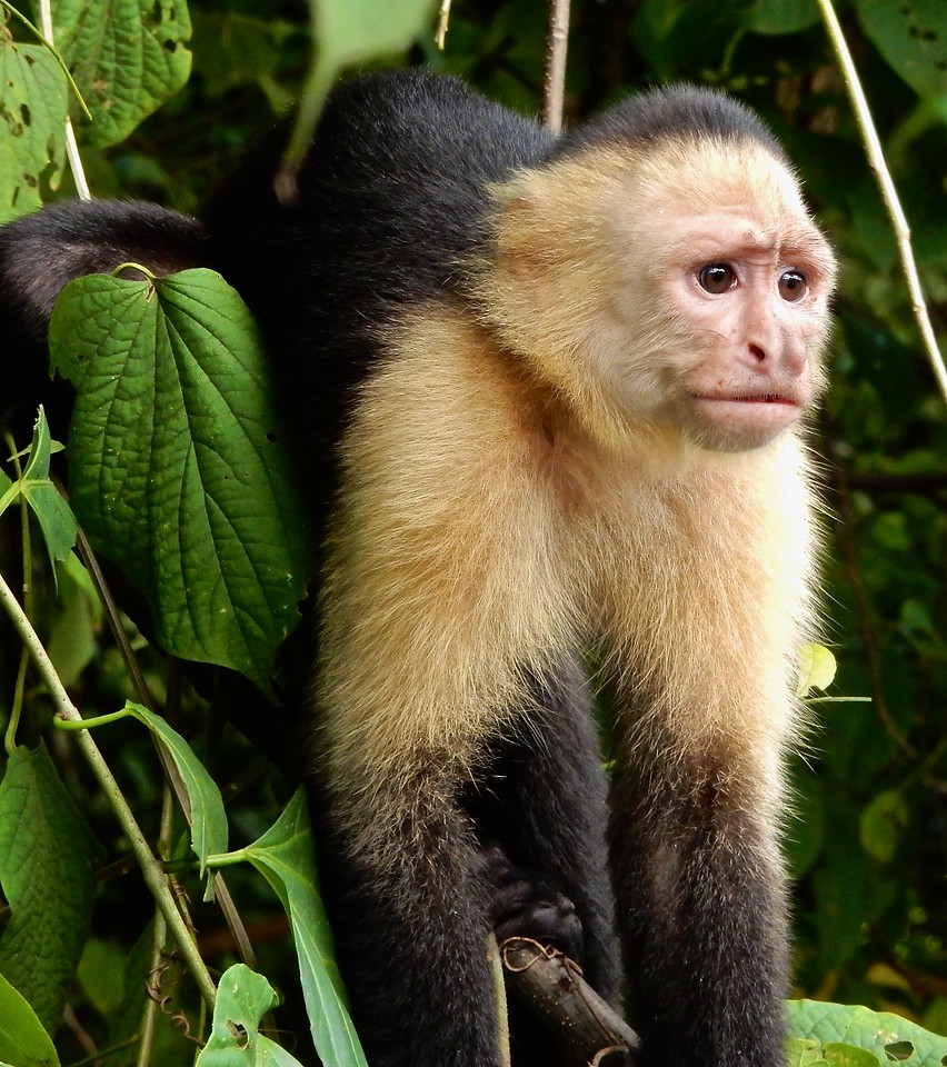 White Faced Monkey, Costa Rica