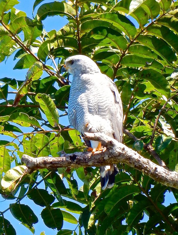 Grey Hawk, Costa Rica