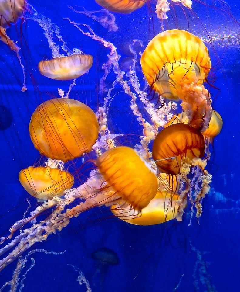 Jellyfish, Aquarium of the Pacific, Long Beach California