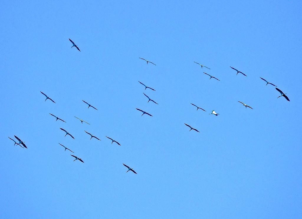 Storks, Costa Rica