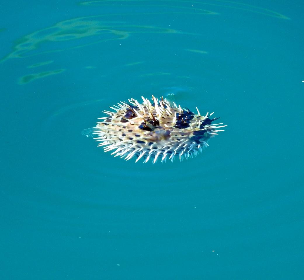 Puffer Fish, Cabo San Lucas