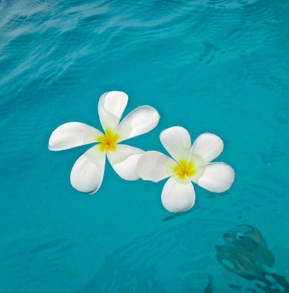 Frangipani Blossoms, Papeete, Tahiti
