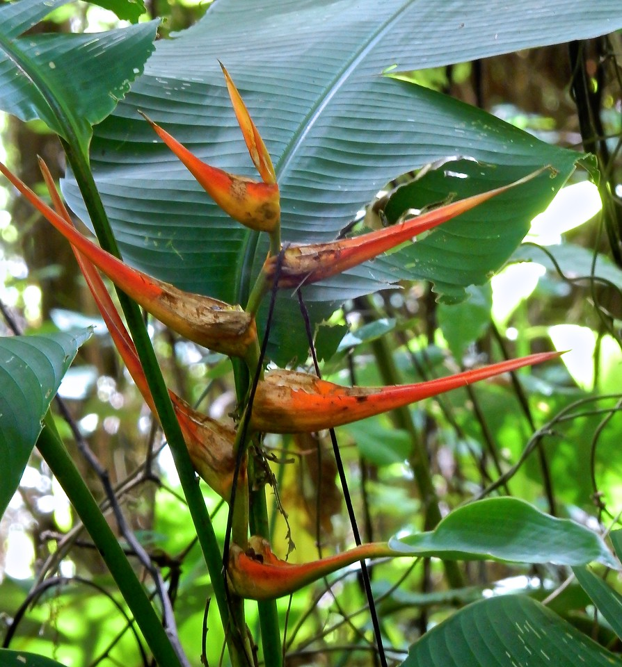 Bird of Paradise, Costa Rica