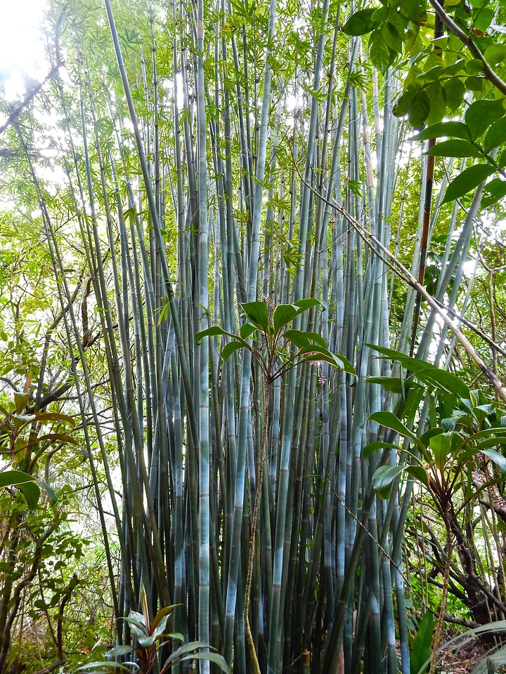 Bamboo, Maui, Hawaii