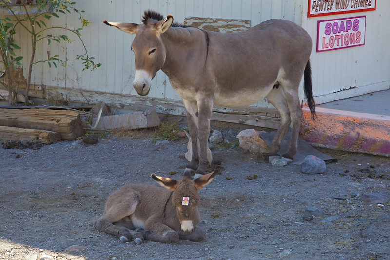 Day 12: Oatman was a booming mining town until the early 1920s.  When the gold gave out, the miners turned their burros loose in the desert.  Those burro's descendants continue to populate the town.