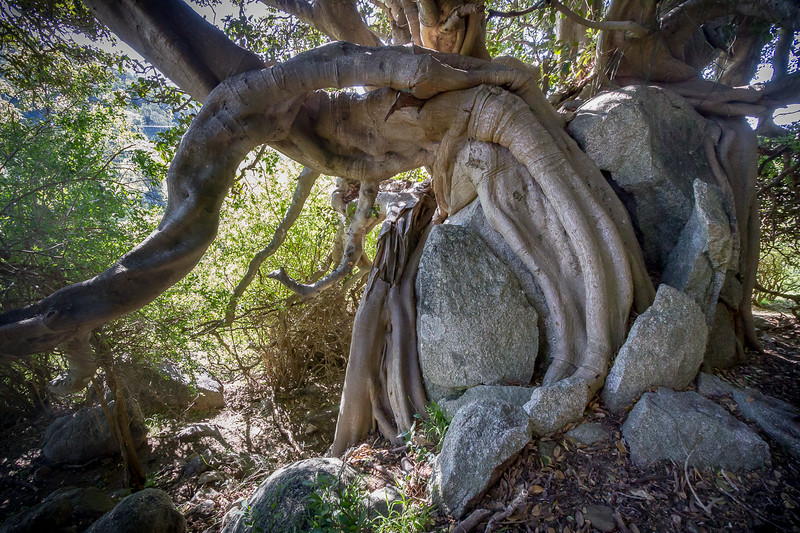 All three of these trees are wrapped around huge, granite boulders that have been cracked by the root growth. They are probably over two hundred years old.