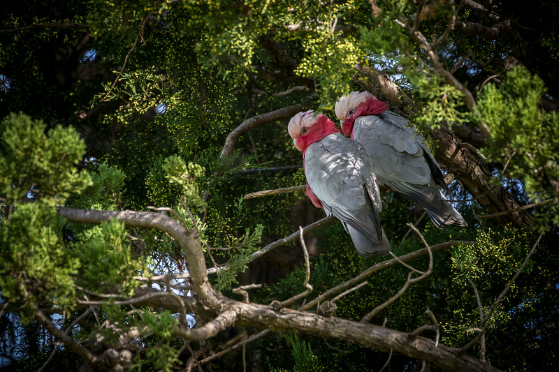 A flock of Galahs came to roost for their midday nap in the trees at the back of the house.