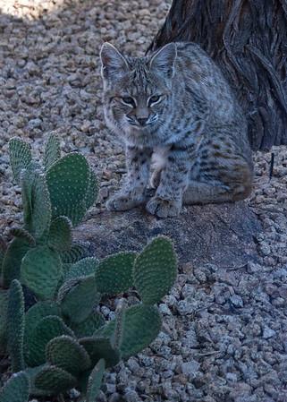 Bobcat, 12-12