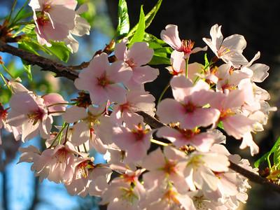 Cherry Blossom Festival 06