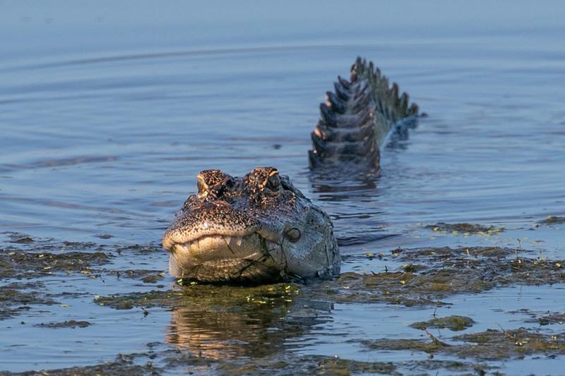 Gator Dragon