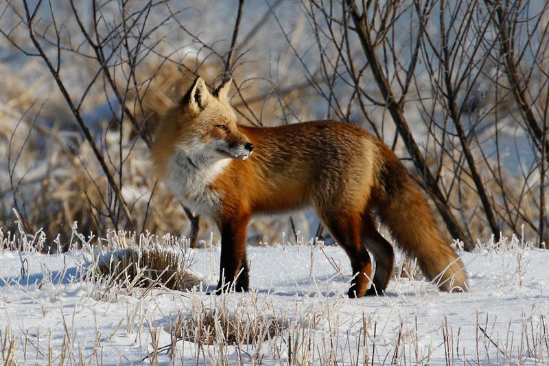 Foxy Head Turn