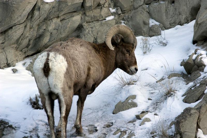Yellowstone Big Horn