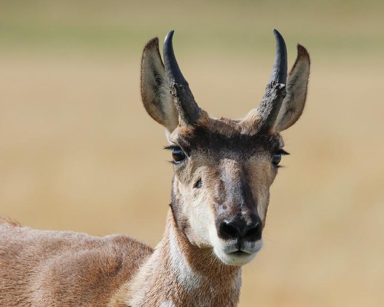 Antelope Lashes