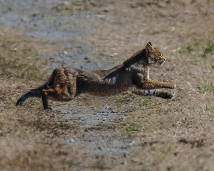 Sprinting Bobcat