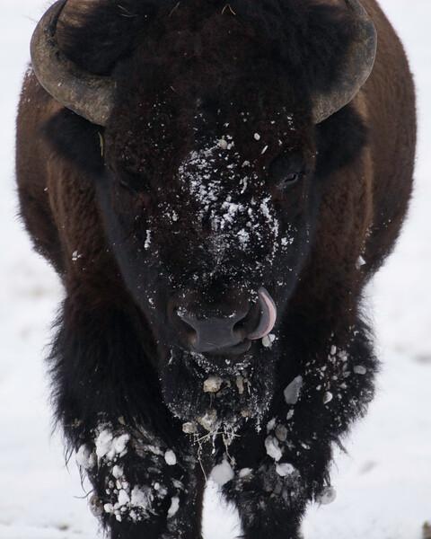 Bison Lick