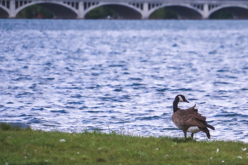 A Canadian Goose hanging by the Beach on Belle Isle State Park