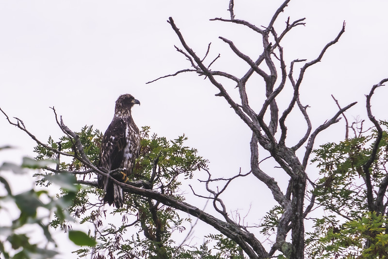 Bald Eagle at Charles Mears State Park in Pentwater Michigan