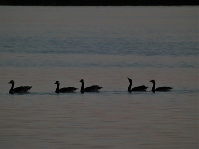 Canadian Geese at Sunset - Wamplers Lake, MI