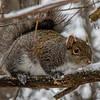 Squirrel tasting snow