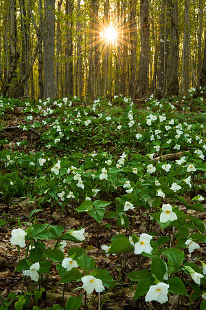 Trillium carpet the forest floor near Pictured Rocks National Lakeshore.