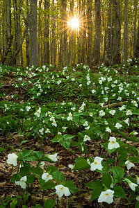 Trillium at sunrise.