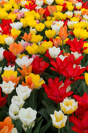 Tulips of many colors.