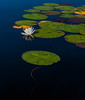 Lily pads on a blue water lake.