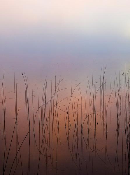 Foggy Reeds
